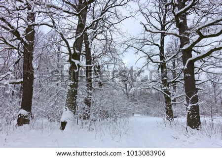 Winter landscape with old oak trees alone path in the snowy forest. #1013083906