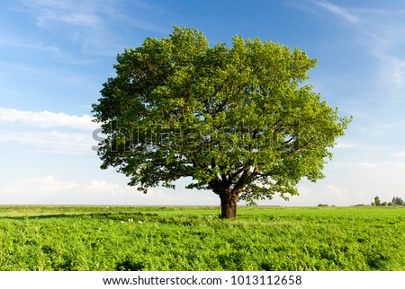 a field on which grows one beautiful tall oak tree, a summer landscape in sunny warm weather #1013112658