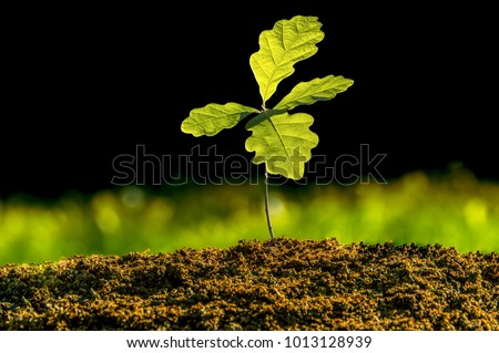 Small oak plant in the garden. Tree oak planted in the soil substrate. Seedlings or plants illuminated by the side light. Highly lighted oak leaves with dark background and green grass. #1013128939