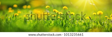 Green field with yellow dandelions. Closeup of yellow spring flowers on the ground #1013235661