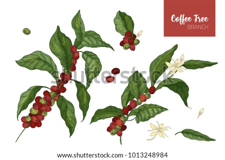 Bundle of botanical drawings of coffea or coffee tree branches with leaves, flowers and ripe fruits isolated on white background. Colorful vector illustration hand drawn in elegant vintage style. #1013248984