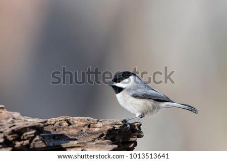 Carolina Chickadee on Driftwood on a Gray Day in Louisiana #1013513641