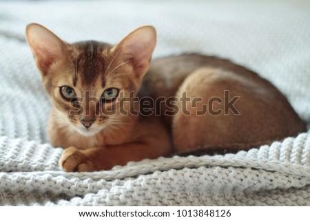 Beautiful Abyssinian Cat Royalty-Free Stock Photo #1013848126