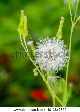 Close up Seeds of Red grass or Giant reed. (Emilia sonchifolia) #1013867899