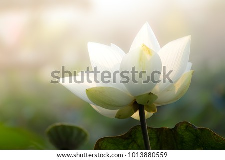 White lotus flower or water lily. Royalty high-quality free stock image of white lotus flower. The background is lotus leaf  and lotus bud in a pond. Beautiful sunlight and sunshine in the morning  #1013880559