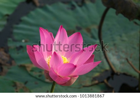 Royalty high quality free photo image of a pink lotus flower. The background is the lotus leaf, pink lotus flower, lotus bud in a pond. Viet Nam. Peace scene in a countryside, Vietnam. Beauty flower