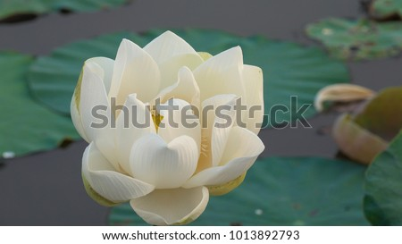 Image of fresh white lotus flower. Royalty high quality stock photo image of a beautiful white lotus flower. The background is the green leaf and yellow lotus bud in pond. Peace scene in countryside