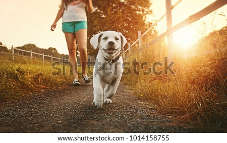 Walk a young woman with dog at sunset next to a paddock - Labrador puppy running with pretty face #1014158755