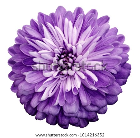 Chrysanthemum  violet  flower. On white isolated background with clipping path.  Closeup no shadows. Garden  flower.  Nature. #1014216352