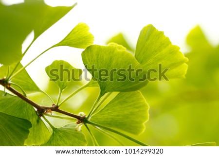 Ginkgo biloba, Ginkgo tree #1014299320