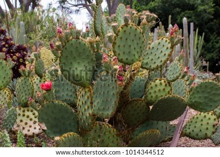 Prickly pear cactus #1014344512
