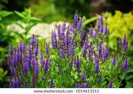 Veronica spikelet planted in mixed border with alchemilla mollis in summer garden #1014613315