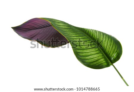 Calathea ornata (Pin-stripe Calathea) leaves, Tropical foliage isolated on white background, with clipping path Royalty-Free Stock Photo #1014788665