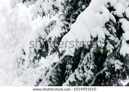 Winter fir tree branches covered with snow. Frozen spruce tree branch in winter forest. #1014901810