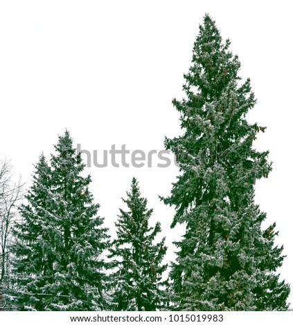 The branches of the snow covered Christmas tree on a white background. #1015019983