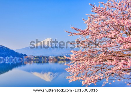 Lake Kawaguchiko, where Mt. Fuji and cherry blossoms bloom, is a typical landscape of spring in Japan. #1015303816