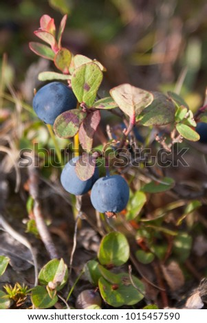 Blueberry bush in the north #1015457590