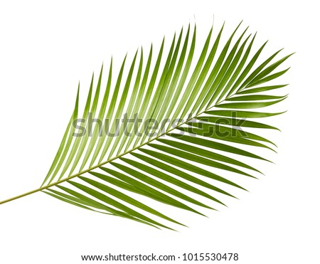 Yellow palm leaves (Dypsis lutescens) or Golden cane palm, Areca palm leaves, Tropical foliage isolated on white background with clipping path #1015530478