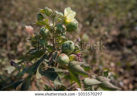 Cotton flowers, buds and plants in the field. #1015570297