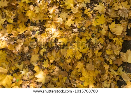 Brown and yellow fallen maple leaves on asphalt from above #1015708780