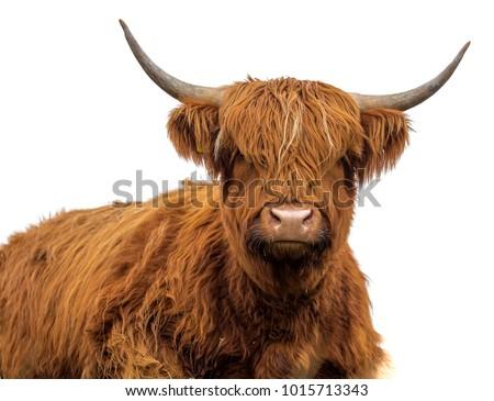 Scottish cow on white background isolated #1015713343