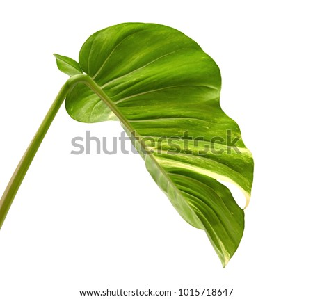 Devil's ivy, Golden pothos, Epipremnum aureum, Heart shaped leaves vine with large leaves isolated on white background, with clipping path #1015718647