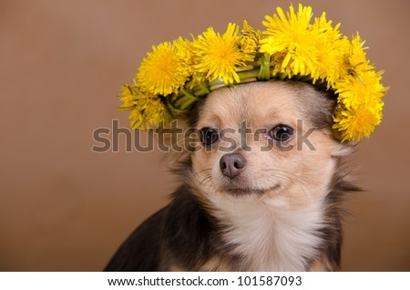 Chihuahua dog with wreath of dandelions #101587093