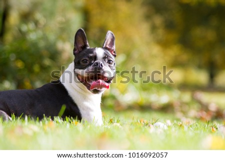 Boston terrier posing in the park. Dog in green grass.