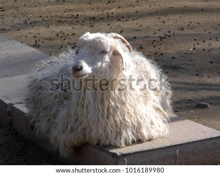 ankara hair felts, mohair goat pictures, goat pictures, goat wool pictures,