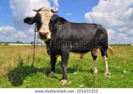 Bull on a summer pasture #101631352