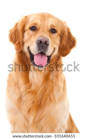 purebred golden retriever dog sitting on isolated  white background #101640655
