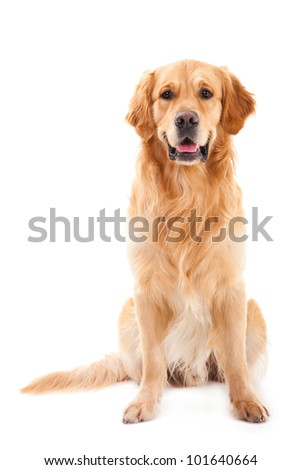 purebred golden retriever dog sitting on isolated  white background #101640664