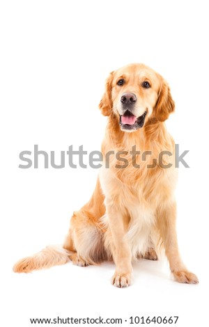 purebred golden retriever dog sitting on isolated  white background #101640667