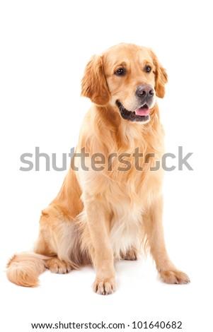 purebred golden retriever dog sitting on isolated  white background #101640682