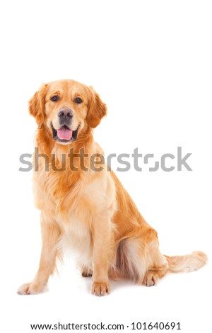 purebred golden retriever dog sitting on isolated  white background #101640691