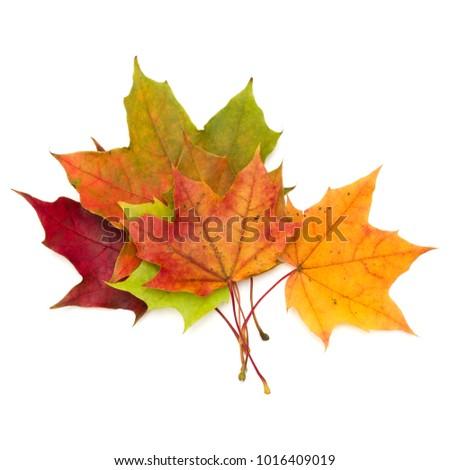 colorful autumn maple leaf isolated on white background #1016409019
