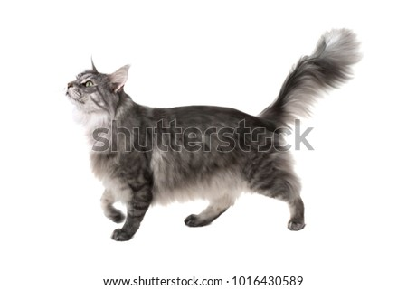 Side view of a maine coon cat walking and looking up on a white background #1016430589