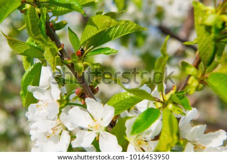 Apple tree blooming. White flowers on tree branch. selective focus, photo light spring. Spring flowering trees. blooming trees. Insects in flowers. The bee pollinates the tree #1016453950