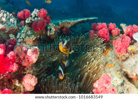 two-bar anemone fish #1016683549