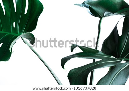 Real monstera leaves decorating for composition design.Tropical,botanical nature concepts ideas. Royalty-Free Stock Photo #1016937028