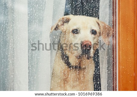 Sad dog waiting alone at home. Labrador retriever looking through window during rain. #1016969386