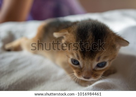 The kitten of the Abyssinian breed lies on a white blanket. Royalty-Free Stock Photo #1016984461