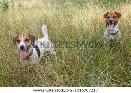 Couple Jack Russell Terriers sitting in the grass #1016989219