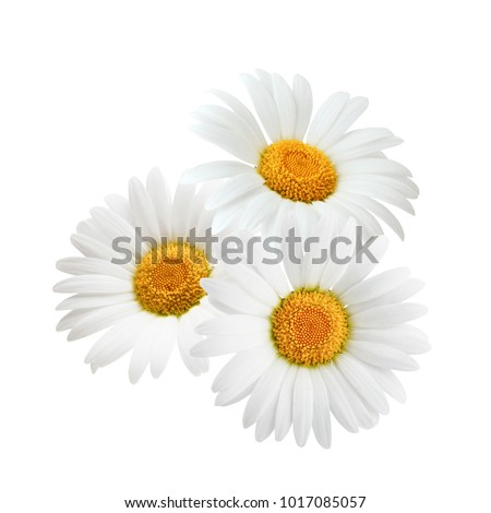 Three chamomile or daisies isolated on white background