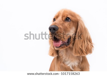 Close up of a beautiful 11 month old Golden Cocker Spaniel puppy looking to the side with his tongue sticking out #1017158263