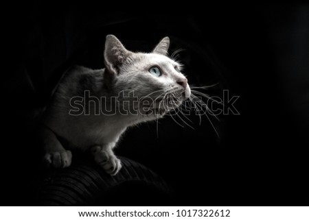 white cat kitten looking up to the light isolated on black background