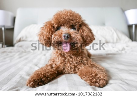 Cute Toy Poodle resting on bed