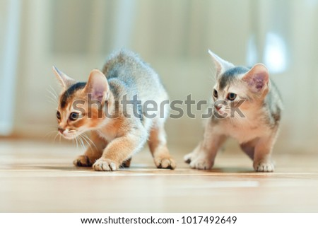 Abyssinian kittens young Royalty-Free Stock Photo #1017492649