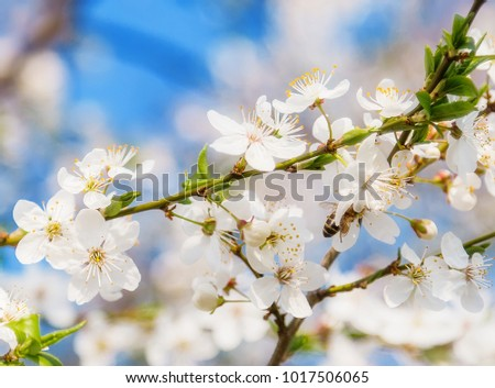 Cherry blossoms a blue sky, Honey bee flying to the White blooming flowers #1017506065