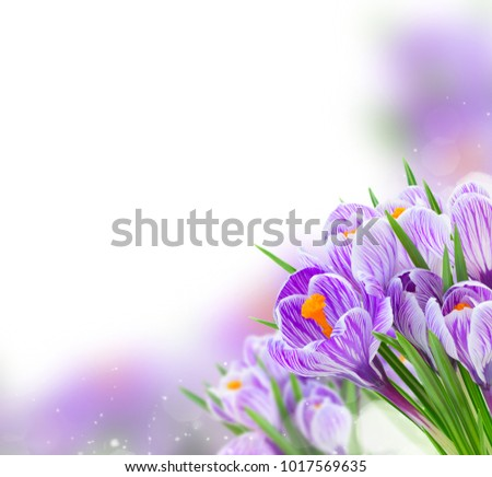 Violet crocus flowers over white background with copy space #1017569635